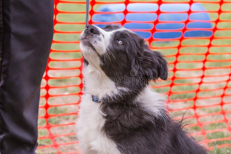 Perro del border collie que vive en Bélgica imágenes de archivo libres de regalías