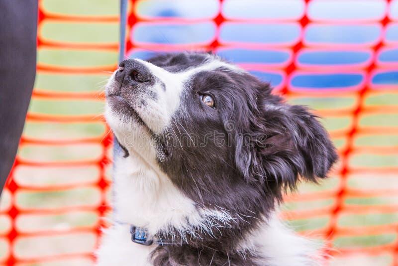 Perro del border collie que vive en Bélgica fotografía de archivo