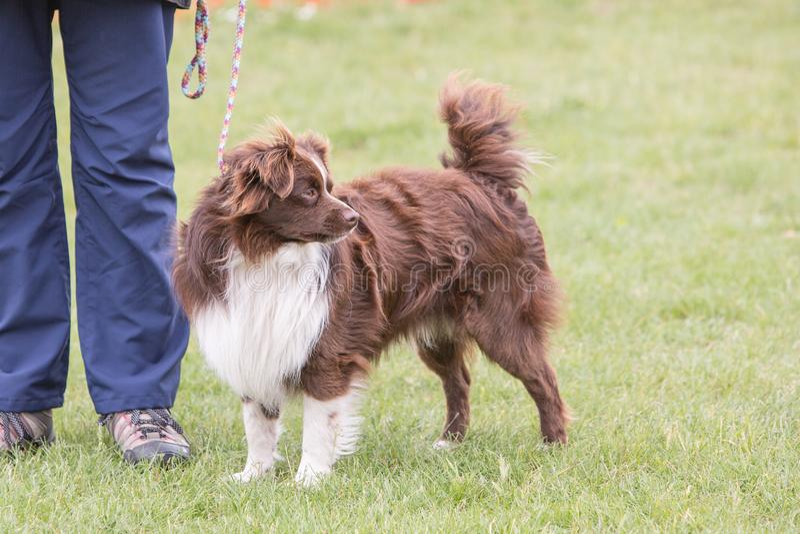 Perro del border collie que vive en Bélgica imagen de archivo