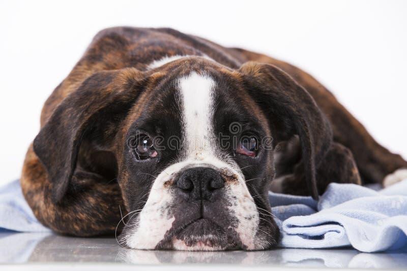 Perro del boxeador en el estudio fotografía de archivo libre de regalías