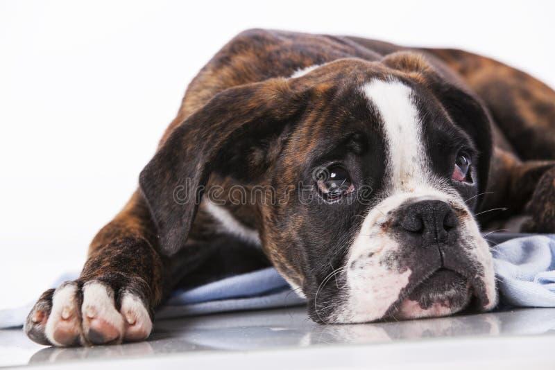 Perro del boxeador en el estudio fotografía de archivo