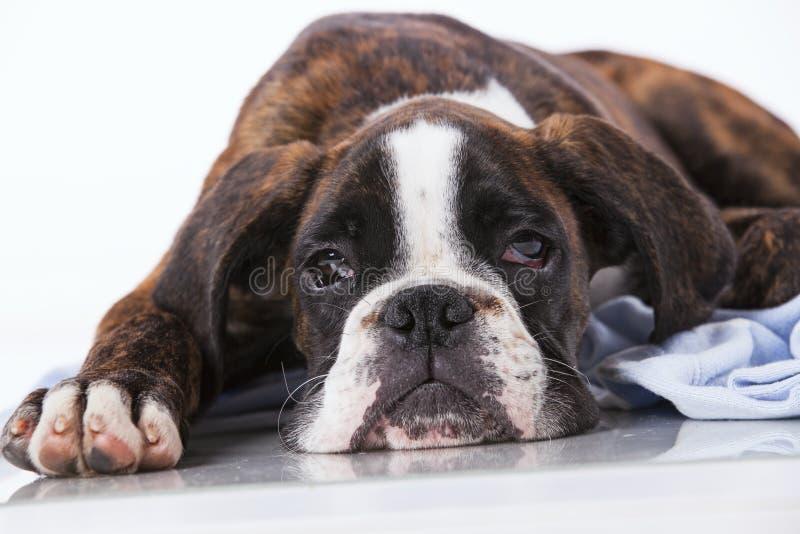 Perro del boxeador en el estudio foto de archivo