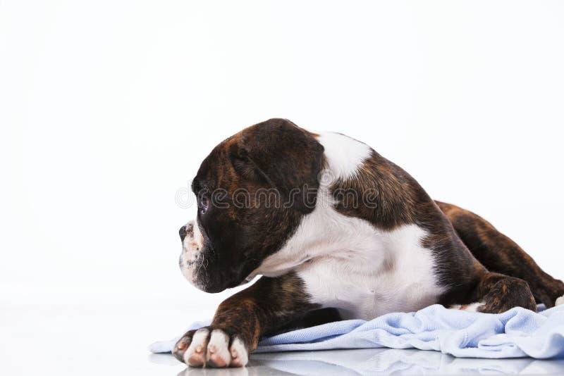 Perro del boxeador en el estudio imágenes de archivo libres de regalías