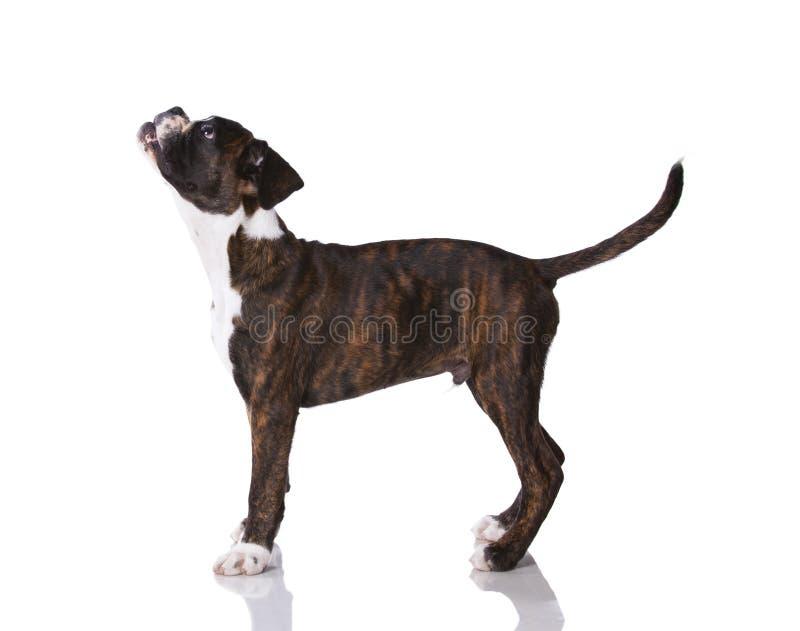 Perro del boxeador en el estudio imagen de archivo libre de regalías