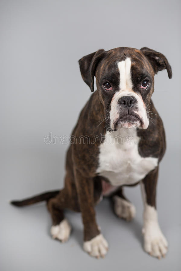 Perro del boxeador en un estudio imagenes de archivo