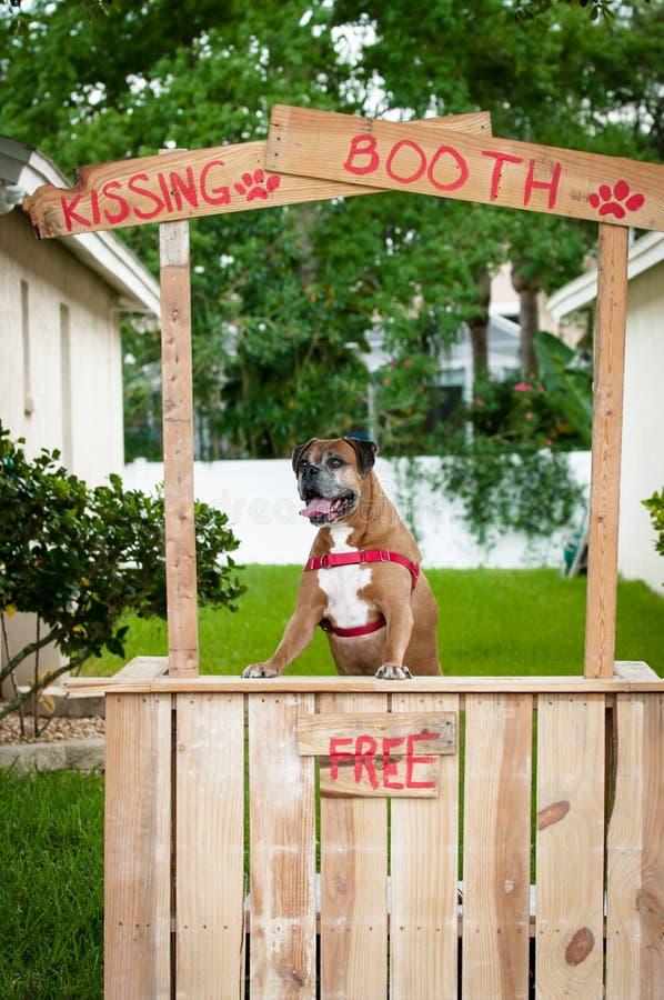 Perro del boxeador que se coloca en una cabina que se besa fotografía de archivo libre de regalías