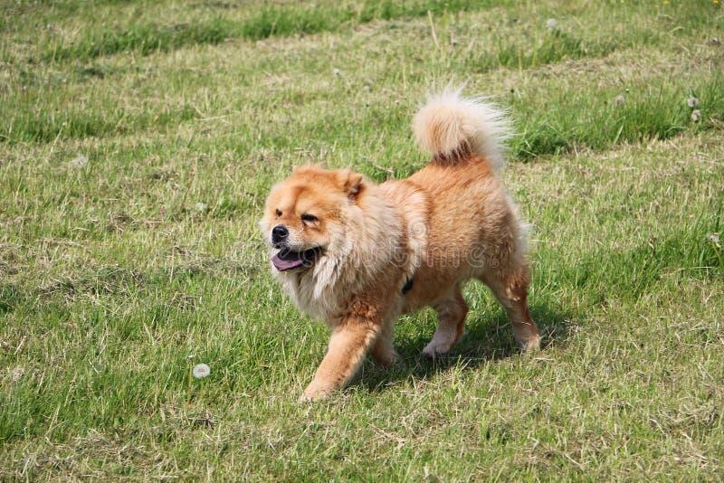 Perro del perro chino de perro chino que camina foto de archivo libre de regalías