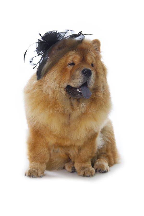 Perro del chow-chow con el sombrero negro fotos de archivo