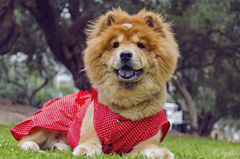 Perro del chow-chow con el traje rojo fotografía de archivo