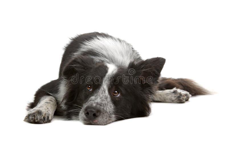 Perro del collie de frontera fotos de archivo libres de regalías