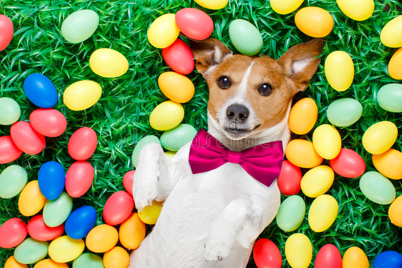 Perro del conejito de pascua con los huevos imagen de archivo libre de regalías
