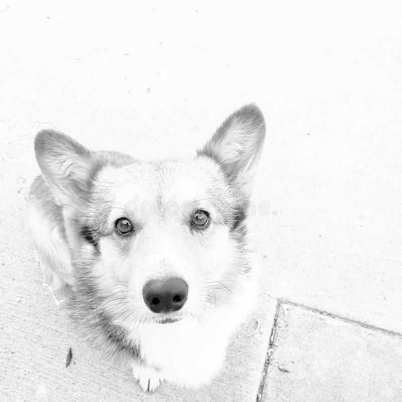 Perro del Corgi en mirar blanco y negro para arriba usted fotografía de archivo