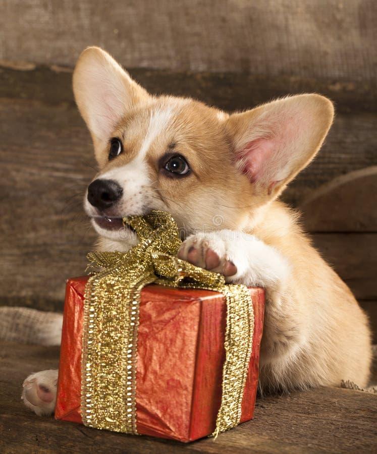 Perro del Corgi Galés foto de archivo libre de regalías