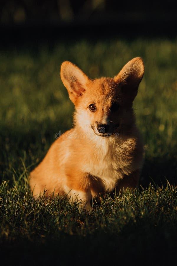 Perro del corgi Galés del perrito sentarse en hierba en puesta del sol Parque verde en fondo foto de archivo libre de regalías