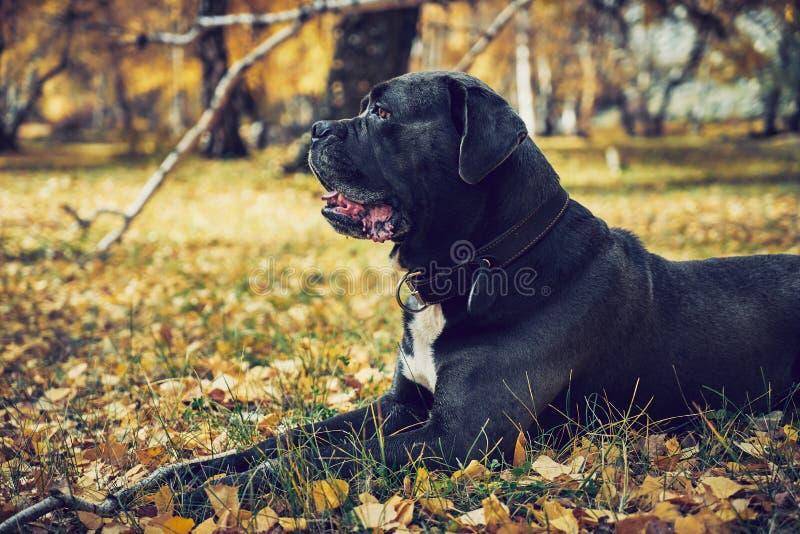 Perro del corso del bastón que pone en las hojas de otoño en un parque fotografía de archivo libre de regalías