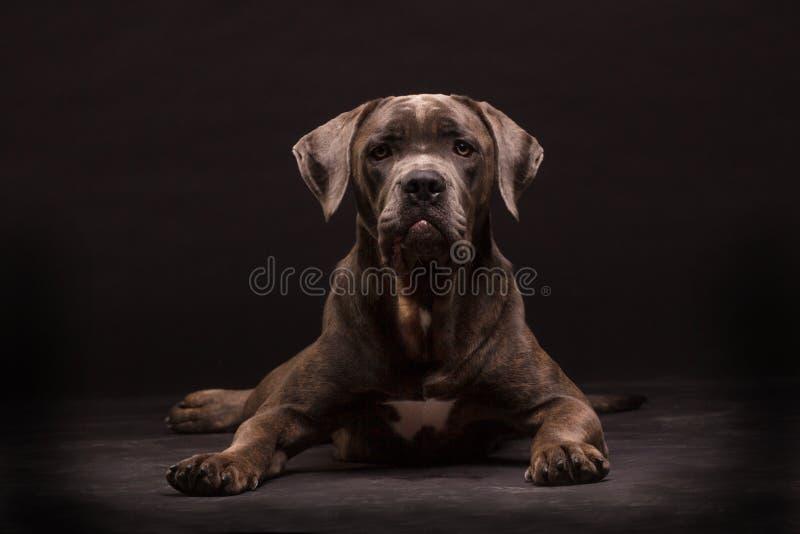 Perro del corso del bastón fotos de archivo libres de regalías