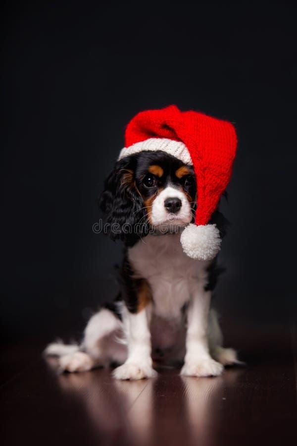 Perro del perro de aguas de rey Charles de la Navidad con el sombrero de Papá Noel foto de archivo libre de regalías