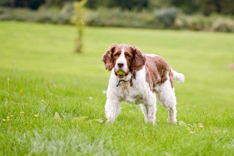 Perro del perro de aguas de saltador inglés en parque imagenes de archivo
