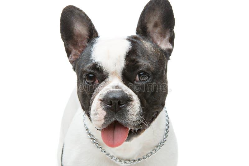Perro del dogo francés aislado en el fondo blanco fotografía de archivo libre de regalías
