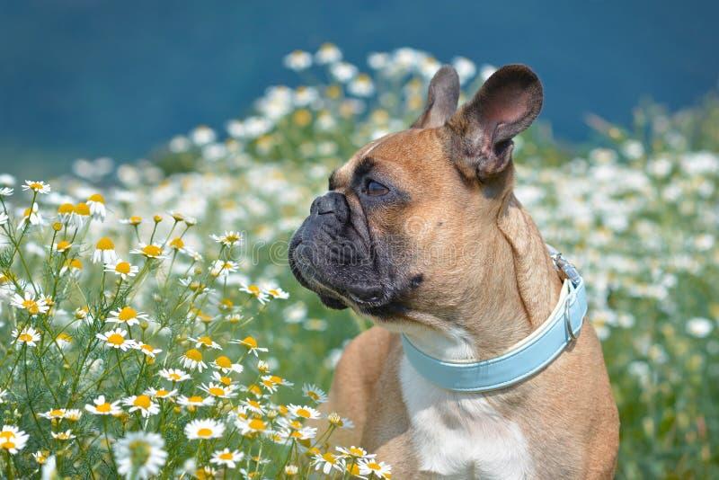 Perro del dogo francés con el cuello azul en colores pastel que mira al lado mientras que se coloca en un campo de las flores de  fotografía de archivo