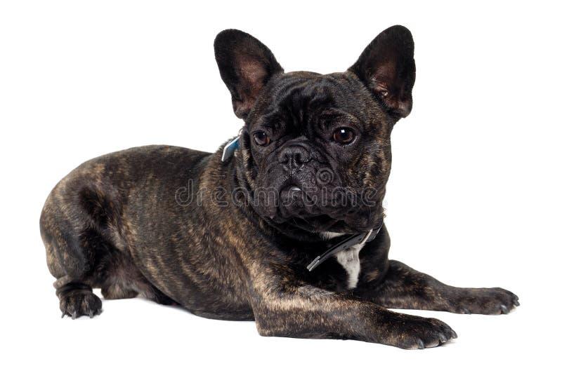 Perro del dogo francés en el fondo blanco imágenes de archivo libres de regalías