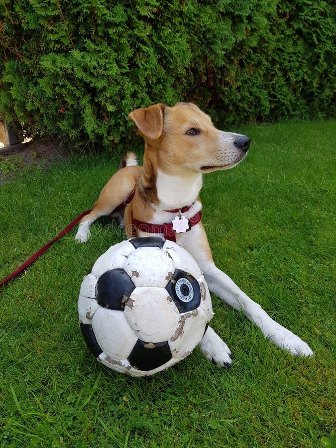 Perro del fútbol foto de archivo libre de regalías