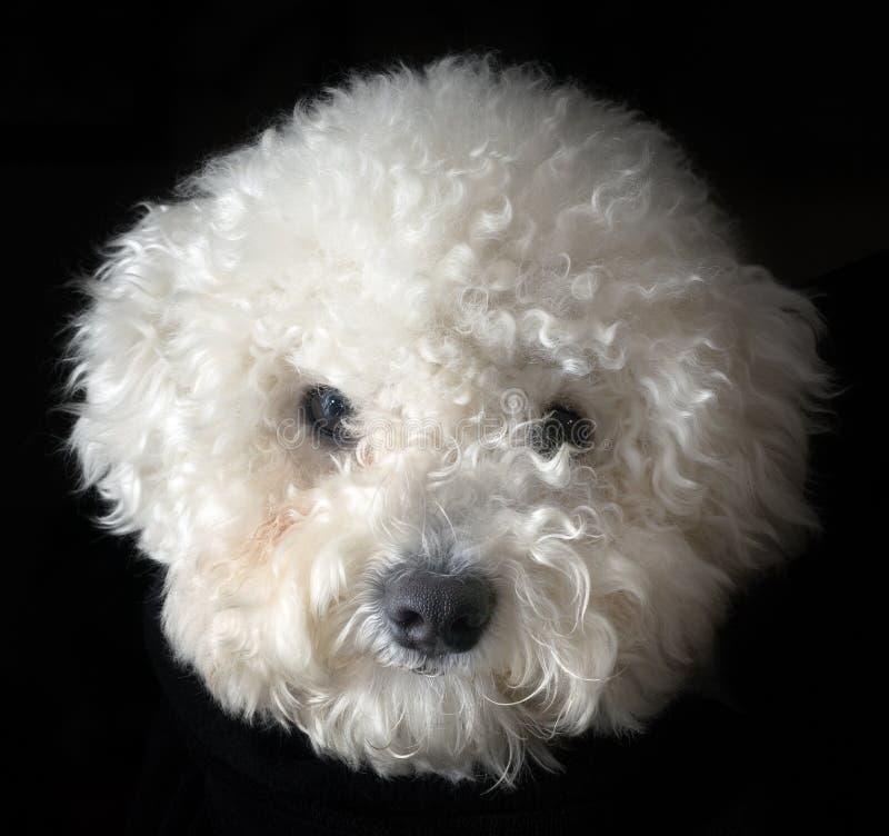 Perro del frise de Bichon foto de archivo libre de regalías