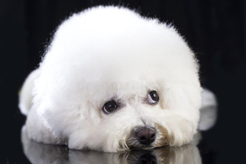 Perro del frise de Bichon imagen de archivo