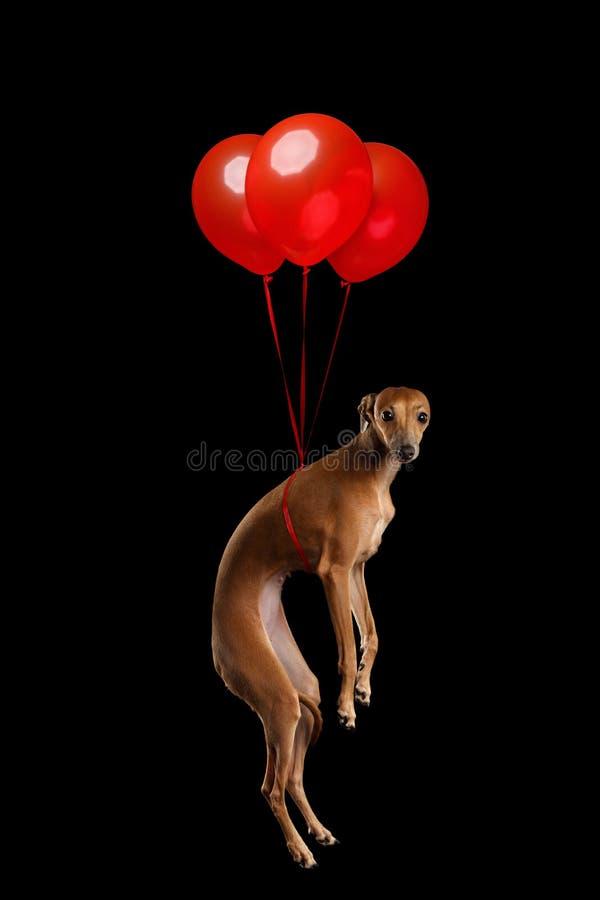 Perro del galgo italiano en fondo aislado negro foto de archivo libre de regalías