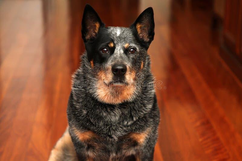 Perro del ganado fotografía de archivo