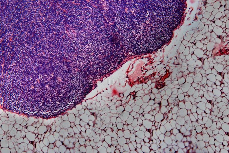 Perro del ganglio linfático de la célula fotos de archivo libres de regalías