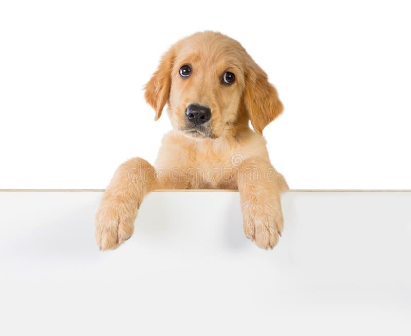 Perro del golden retriever que lleva a cabo encendido un tablero blanco del tablón fotografía de archivo libre de regalías