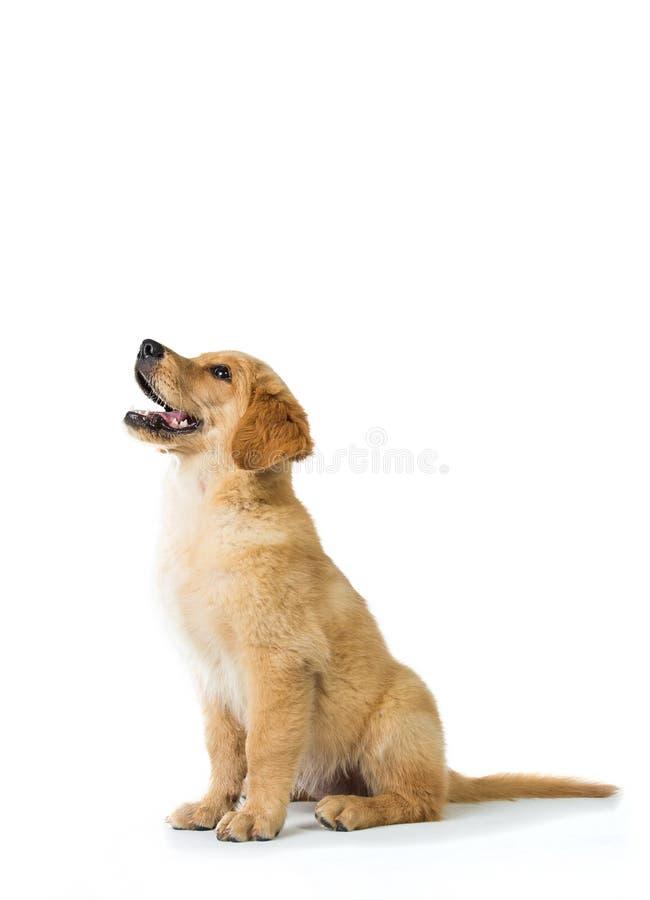 Perro del golden retriever que raspa mientras que se sienta en el piso, aislante imagen de archivo libre de regalías