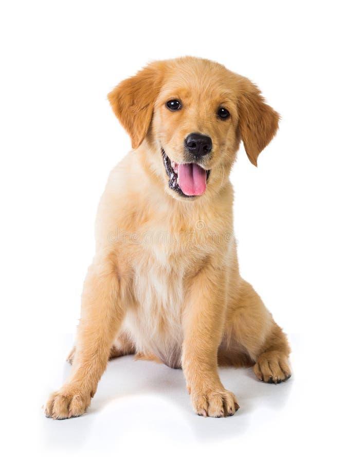 Perro del golden retriever que se sienta en el piso, aislado en el CCB blanco imagen de archivo