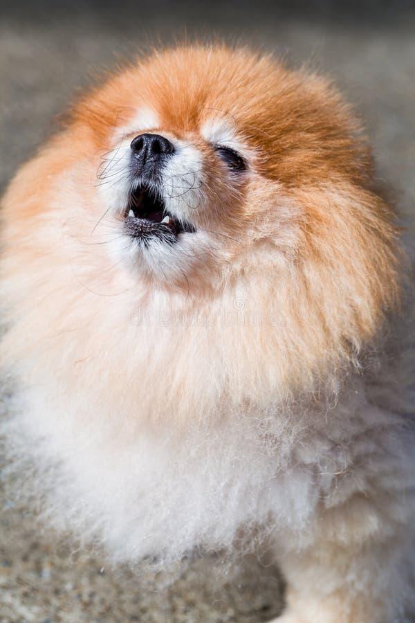 Perro del grito, perro de Pomeranian/del grito/perro del grito, Pomeranian, tiro de la cara foto de archivo