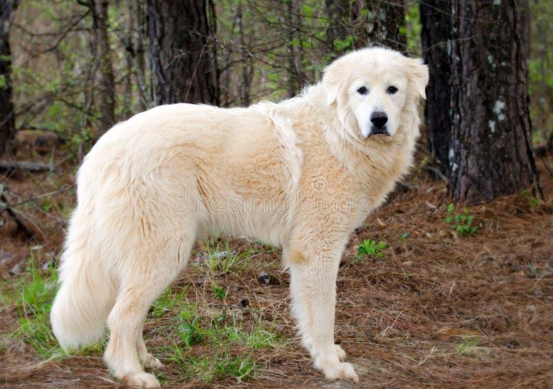 Perro del guarda del ganado de los grandes Pirineos imagen de archivo