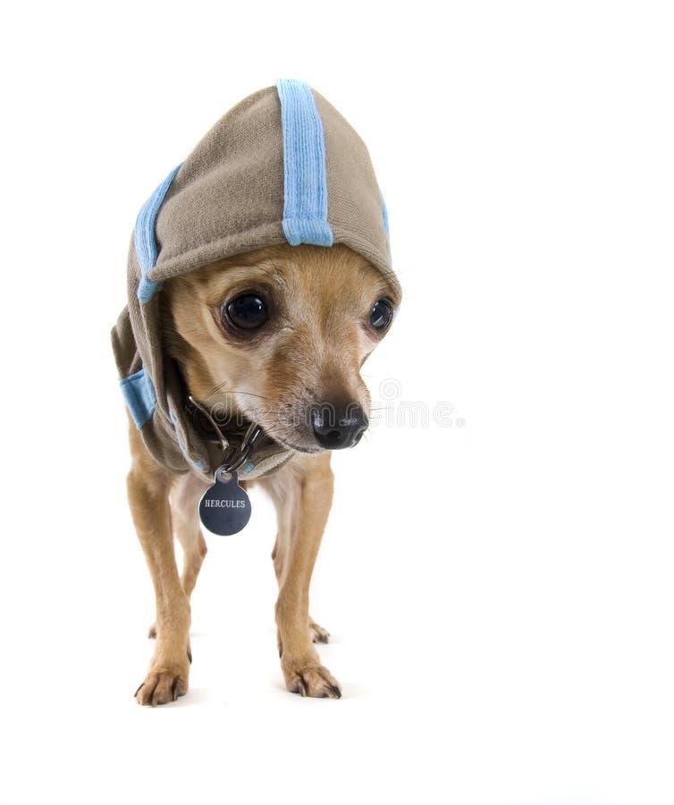 Perro del Hoodie fotos de archivo
