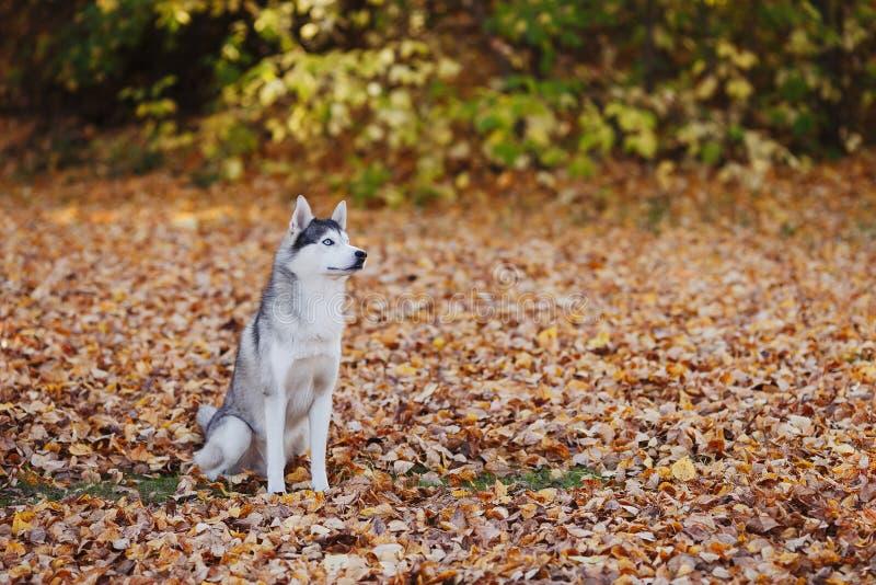 Perro del husky siberiano con los ojos azules que se sientan en parque del otoño fotos de archivo libres de regalías