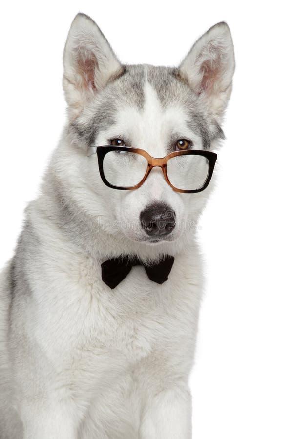 Perro del husky siberiano en pajarita y vidrios en el fondo blanco fotos de archivo
