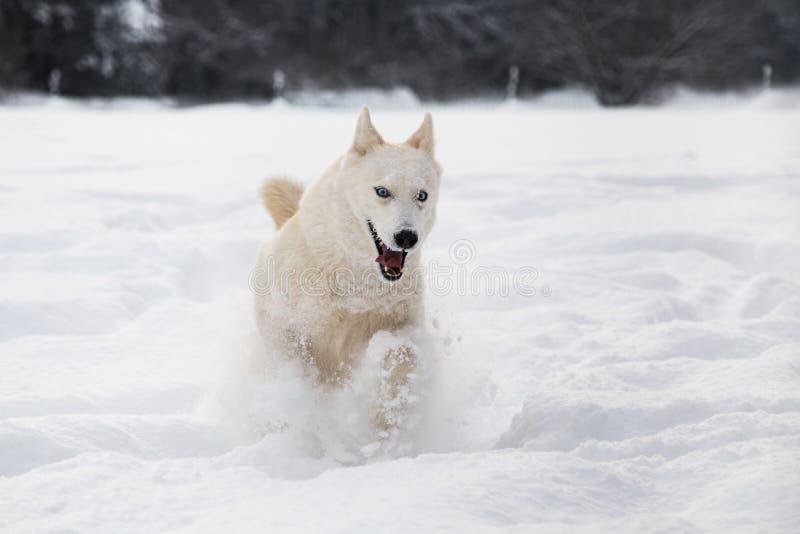Perro del husky siberiano que corre en nieve imagenes de archivo