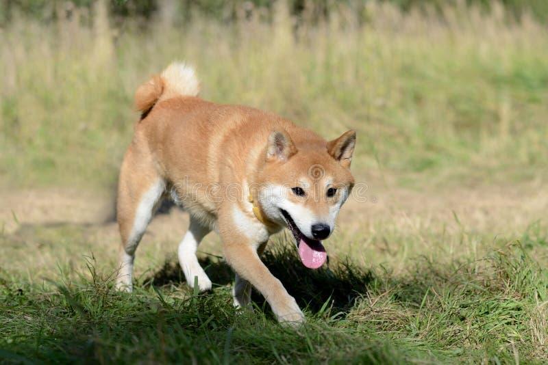 Perro del inu de Shiba fotos de archivo