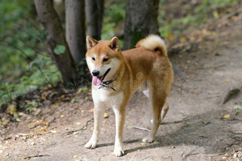 Perro del inu de Shiba fotografía de archivo libre de regalías