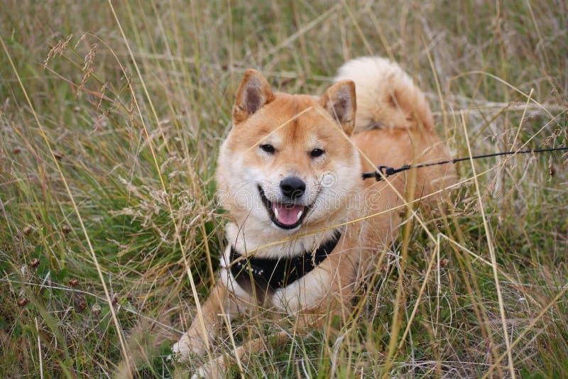 Perro del inu de Shiba que descansa en un campo en día de verano caliente fotos de archivo