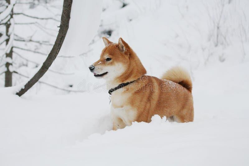 Perro del inu de Shiba que juega en la nieve imágenes de archivo libres de regalías