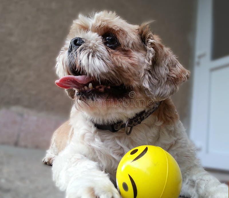 Perro del jugador foto de archivo libre de regalías