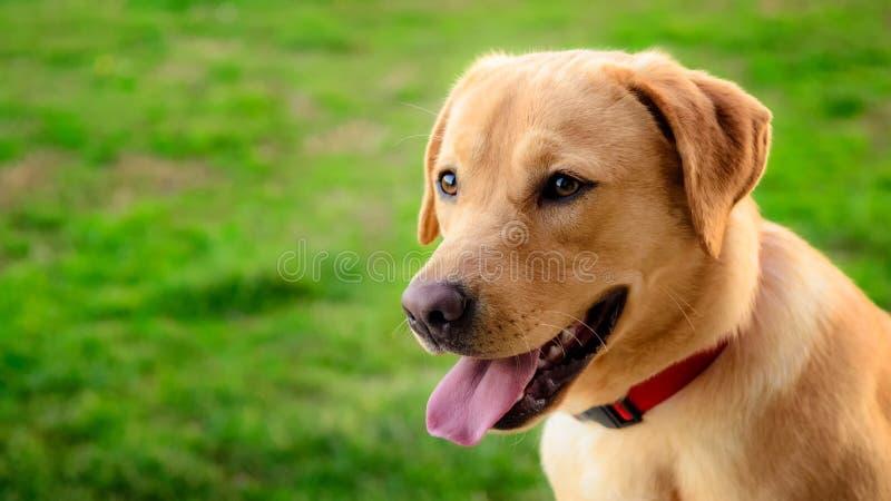 Perro del labrador retriever en el prado fotografía de archivo libre de regalías