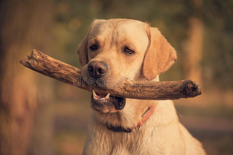 Perro del labrador retriever que sostiene un palillo en el entrenamiento imágenes de archivo libres de regalías