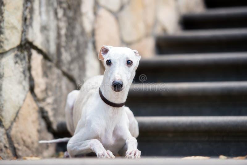 Perro del lebrel al aire libre fotografía de archivo