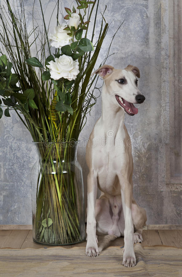 Perro del lebrel con un florero de flores fotografía de archivo