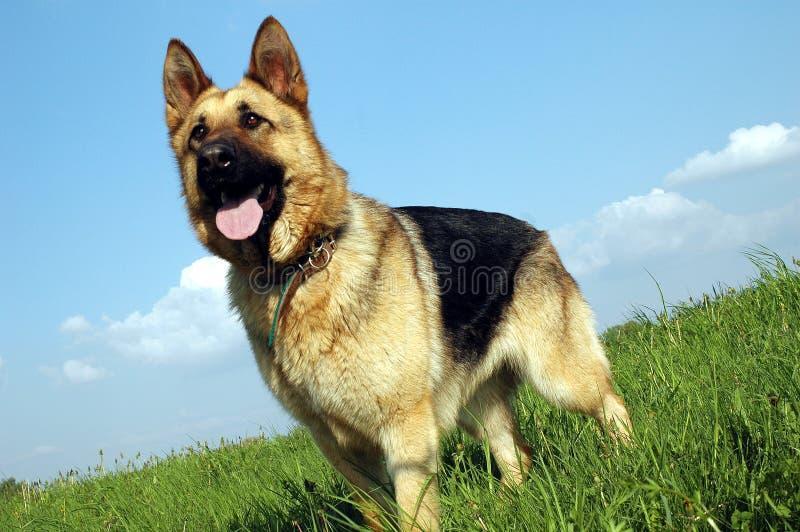 Perro del lobo fotografía de archivo libre de regalías